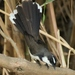 Philippine Pied-Fantail - Photo (c) Michaela S. Webb, all rights reserved