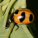 Mountain Lady Beetle - Photo (c) Joshua Lincoln, all rights reserved