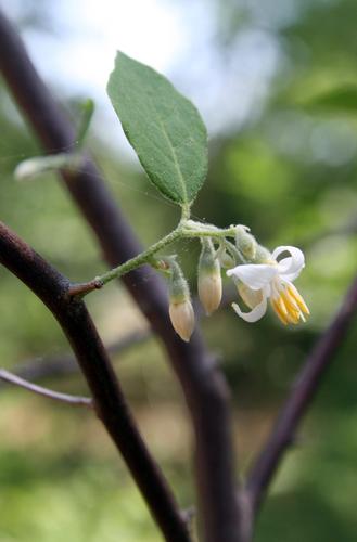 styracaceae snowbells genus styrax inaturalistorg