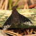 Sinuous Bee Fly - Photo (c) mayfly1963, all rights reserved, uploaded by mayfly1963