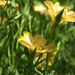Berlandier's Yellow Flax - Photo (c) Layla, all rights reserved, uploaded by Layla Dishman