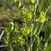 Euphorbia longicruris - Photo (c) Layla, כל הזכויות שמורות, uploaded by Layla Dishman