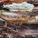 Anthoporia albobrunnea - Photo (c) Ida Jansson, todos los derechos reservados