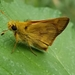 Woodland Skipper - Photo (c) Matt Hunter, all rights reserved