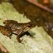 Micrixalus saxicola - Photo (c) Krishna Murthy, todos los derechos reservados
