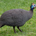 Helmeted Guineafowl - Photo (c) Robert Siegel, all rights reserved