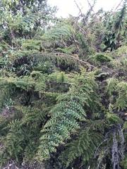 Coriaria ruscifolia image