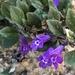 Clinopodium alpinum - Photo (c) Thomas Eicher, todos los derechos reservados