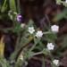 Plagiobothrys collinus californicus - Photo (c) Andy Lazere, todos los derechos reservados