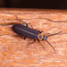 Ischnomera puncticollis - Photo (c) treichard, all rights reserved, uploaded by Timothy Reichard