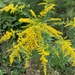 Solidago canadensis - Photo (c) James Anderson, כל הזכויות שמורות