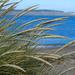 European Marram Grass - Photo (c) Wendy Feltham, all rights reserved