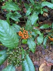 Psychotria racemosa image