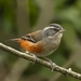 Gray-throated Warbling-Finch - Photo (c) Arthur Alves, all rights reserved