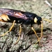 Giant Woodwasp - Photo (c) sregor, all rights reserved