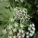 Broad-leaved Chervil - Photo (c) missnarjess, all rights reserved