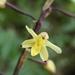 Aphyllorchis montana montana - Photo (c) 顧建業, todos los derechos reservados
