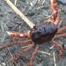 Japanese Freshwater Crab - Photo (c) Joachim Bidallier, all rights reserved