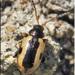 Phyllotreta robusta - Photo (c) Alain Hogue, all rights reserved