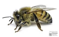 Western Honey Bee - Photo (c) Oregon Department of Agriculture, some rights reserved (CC BY-NC-ND)