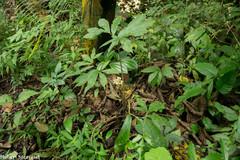 Xanthosoma helleborifolium image