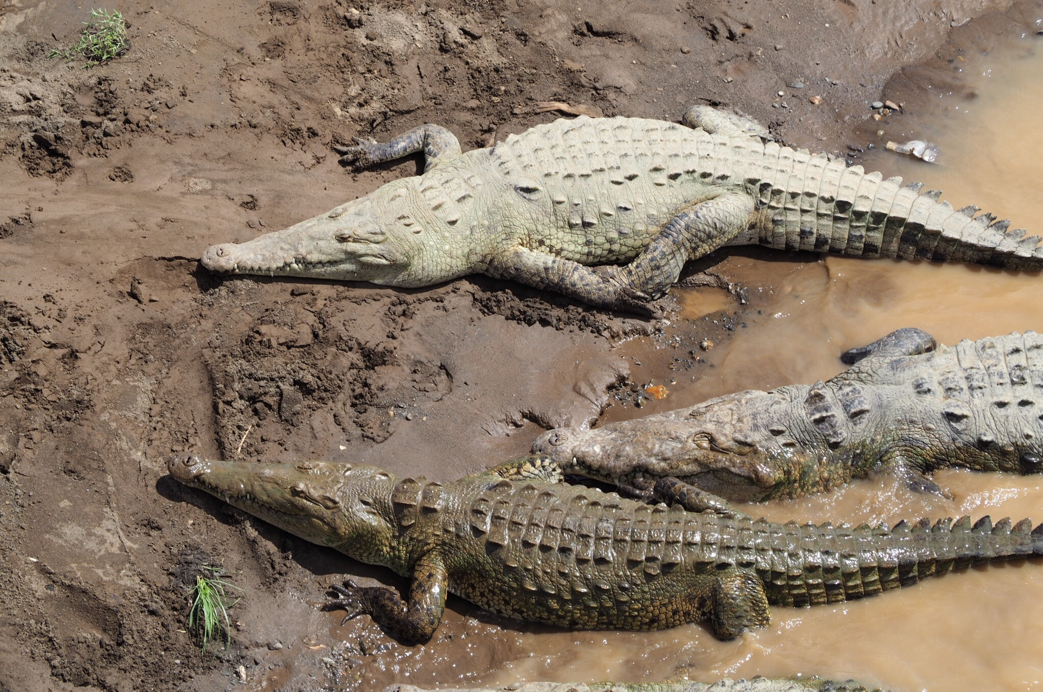 the background information on the american crocodile crocodiles acutus The american crocodile (crocodylus acutus) is found throughout the waters along the pacific coast of jaws full of teeth – american crocodile july 7.