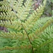 Hay-scented Buckler-Fern - Photo (c) Paulo Canaveira, all rights reserved