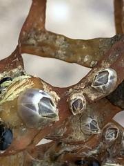 Amphibalanus improvisus image