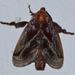 Phocoderma velutina - Photo (c) Anupam Phillip, todos los derechos reservados