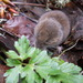 Long-tailed Vole - Photo (c) velizo, all rights reserved, uploaded by Oli