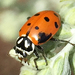Oblong Lady Beetles - Photo (c) Larry Clarfeld, all rights reserved