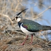 Northern Lapwing - Photo (c) 조흥상, all rights reserved