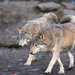 Eastern Wolf - Photo (c) Cloudtail the Snow Leopard, some rights reserved (CC BY-NC-ND)