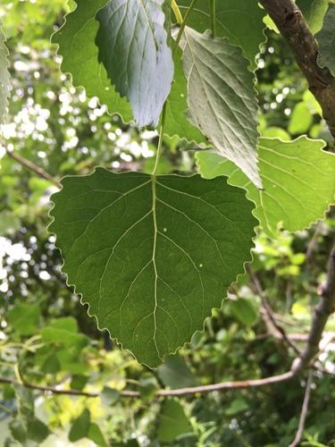 Populus image