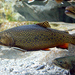 Brook Trout - Photo (c) Marrabbio2, some rights reserved (GFDL)