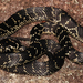 Broad-headed Snake - Photo (c) Patrick  Campbell, all rights reserved, uploaded by Patrick Campbell