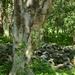 Gleditsia amorphoides - Photo (c) adel-fridus, all rights reserved