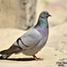 Hill Pigeon - Photo (c) 조흥상, all rights reserved