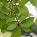 Cedro Olmo de Texas - Photo (c) Betsy Marsh, todos los derechos reservados