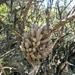 Tillandsia pedicellata - Photo (c) Luciana Iturrieta, all rights reserved