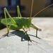 Great Green Bush-Cricket - Photo (c) Gonzalo Salto Márquez, all rights reserved