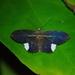 Hemeroblemma leontia - Photo (c) Vaughn-Xavier Jameer, all rights reserved