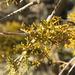 Arceuthobium oxycedri - Photo (c) naturalist, todos los derechos reservados