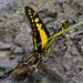 Mariposa Cometa - Photo (c) Theresa Bayoud, todos los derechos reservados