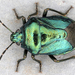 Blue Shield Bug - Photo (c) gernotkunz, all rights reserved