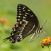 Tiger Swallowtails and Allies - Photo (c) Chad Arment, all rights reserved