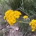 Psilostrophe gnaphalodes - Photo (c) gshinton, todos los derechos reservados