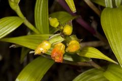 Elleanthus aurantiacus image