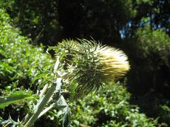 Cirsium subcoriaceum image