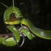 Red-tailed Green Ratsnake - Photo (c) Brian, all rights reserved